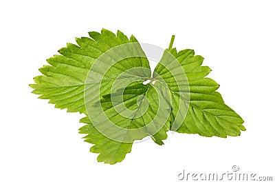 Leaf of a wild strawberry plant