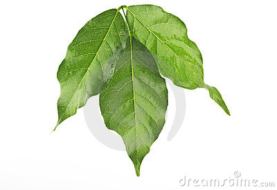 Leaf of a wisteria