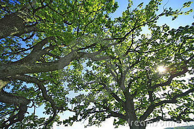 The leafage of an old oak .
