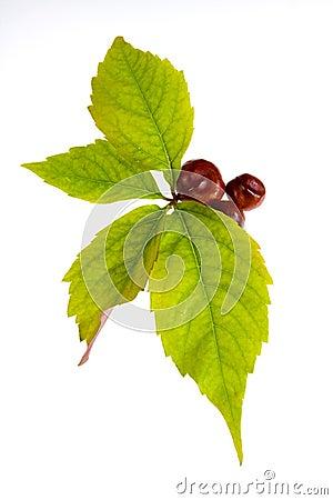 Leafage of wild grape