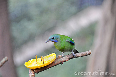 Leafbird Orange-gonflé mangeant l orange