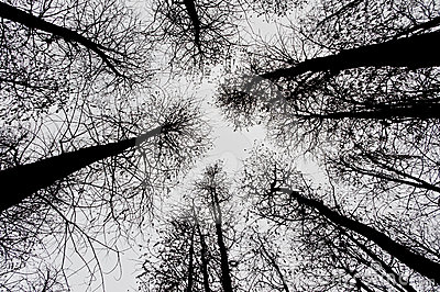 Leafless pine trees