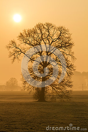 Leafless tree in the morning fog