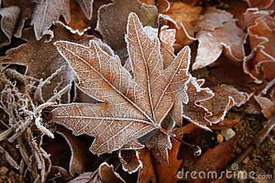Leafs with white frost