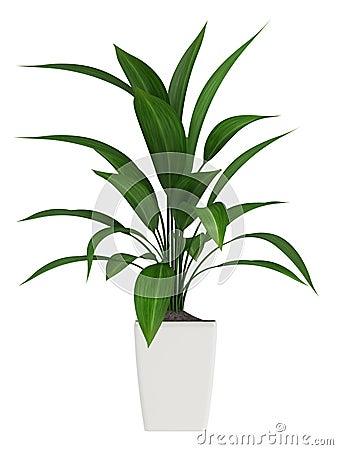Leafy aspidistra houseplant