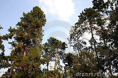Leafy green pine trees