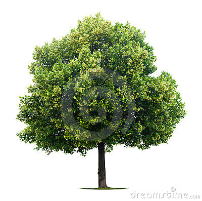 Free Leafy Linden Tree Stock Photo - 10241950