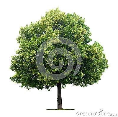 Leafy Linden tree