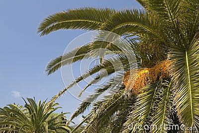 Leafy palm trees