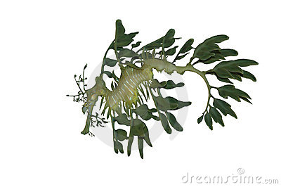 Leafy Sea Dragon Isolated On White Royalty Free Stock Images ...