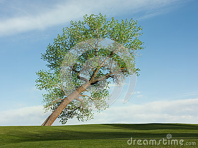 Leaning cottonwood tree