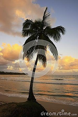 Leaning palm tree at Las Terrenas beach at sunset, Samana penins