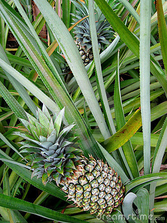 Leaning pineapples