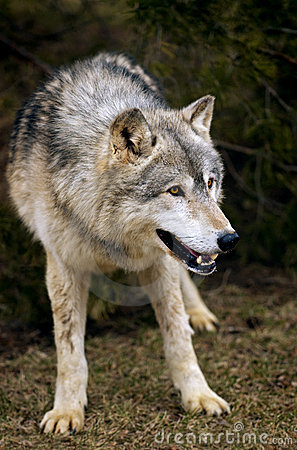 Leaning Timber Wolf (Canis lupus)