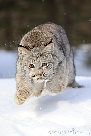 Leaping Bobcat
