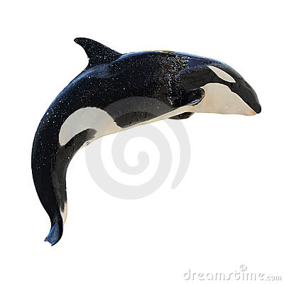 Free Leaping KillerWhale, Orcinus Orca Stock Photography - 21593012