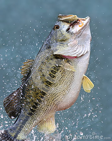 Free Leaping Largemouth Bass (Micropterus Salmoides) Royalty Free Stock Image - 27514486