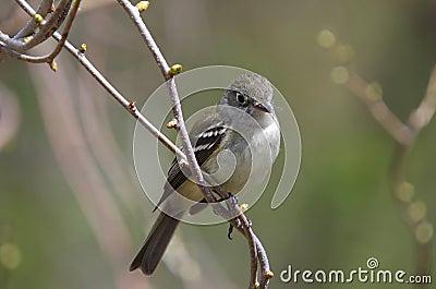 Least Flycatcher ( Empidonax minimus)