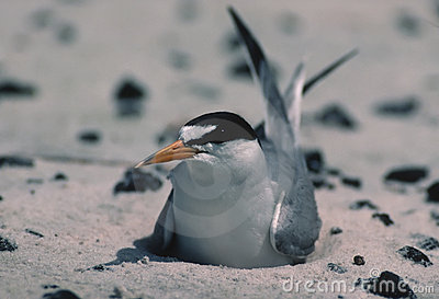 Least tern on Biloxi beach(prior to oil spill)