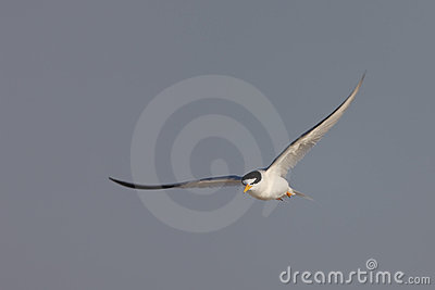 Least Tern (Sternula antillarum antillarum)