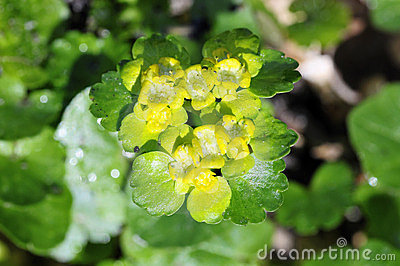 Leaved golden saxifrage