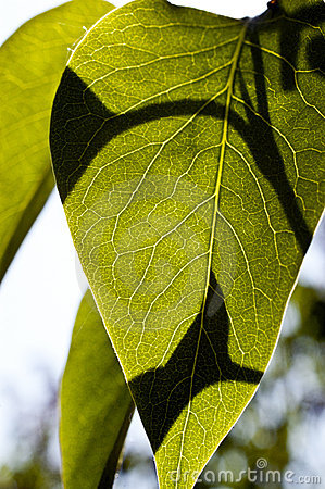 Free Leaves Stock Photo - 14355050