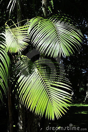Leaves of the acai palm