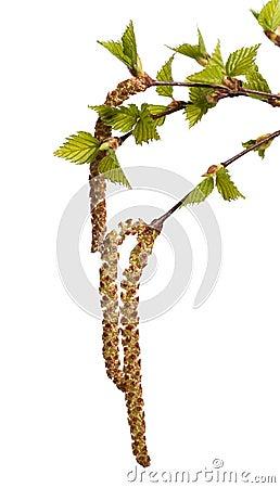 Leaves of birch