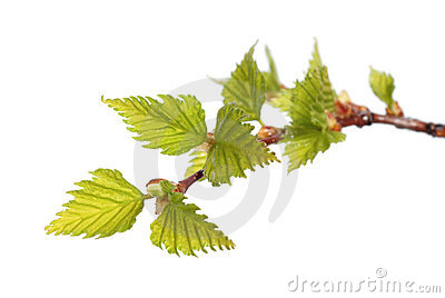 Leaves of birch
