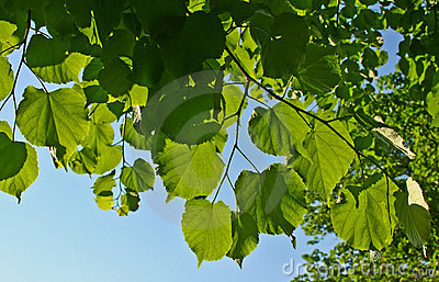 Leaves branch