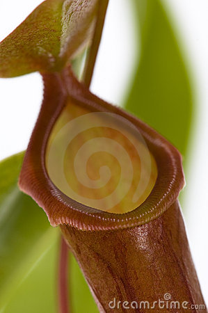 Leaves of carnivorous plant - Nepenthes