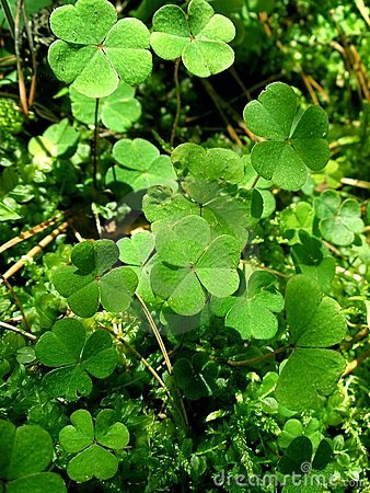 Leaves of clover