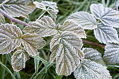 Leaves covered with frost