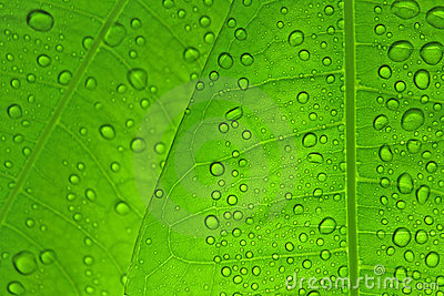 Leaves with drops