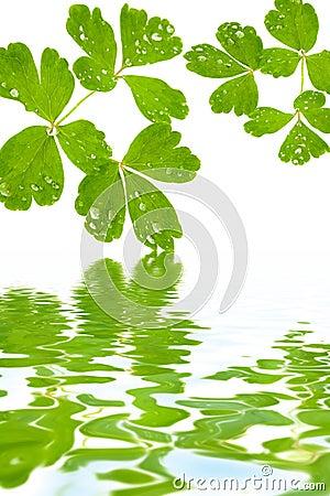 Leaves in drops of dew