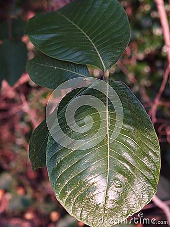 Leaves013