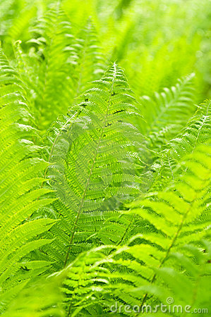 Leaves fern