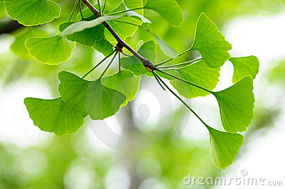 Leaves of Gingko Biloba tree