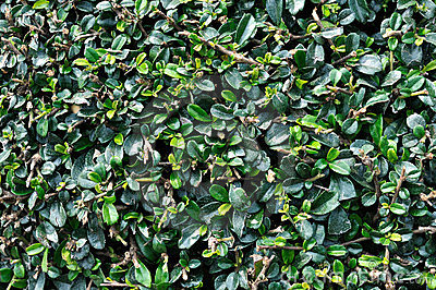 Leaves of green bush as background