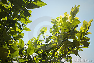 Leaves of a lemon tree