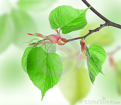 Leaves of Lime