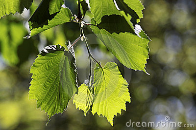 Leaves of linden tree