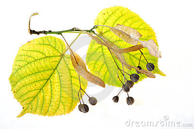 Leaves of linden-tree