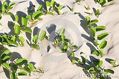 Leaves of mangrove at sandy beach