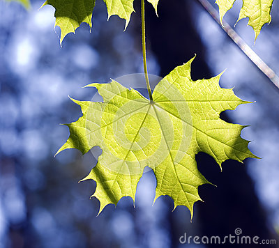 Leaves on maple branches