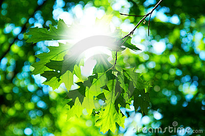 Leaves of maple with sun