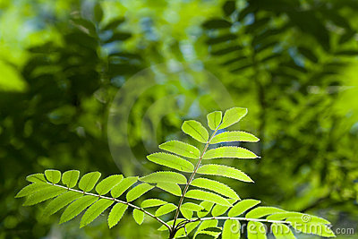 Leaves of mountain ash
