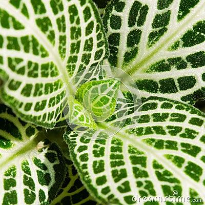 Leaves of nervr plant