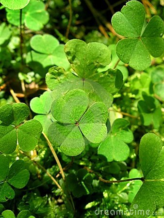 Free Leaves Of Clover Stock Image - 1314811