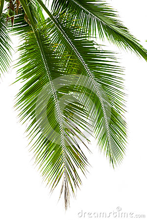 Free Leaves Of Coconut Tree Isolated On White Background Stock Images - 39721594